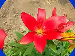 Сажаем и выкапываем лилии 36