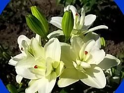 Сажаем и выкапываем лилии 10