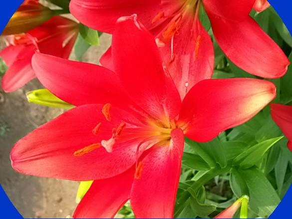 Неприхотливые многолетние цветы и растения для сада 7
